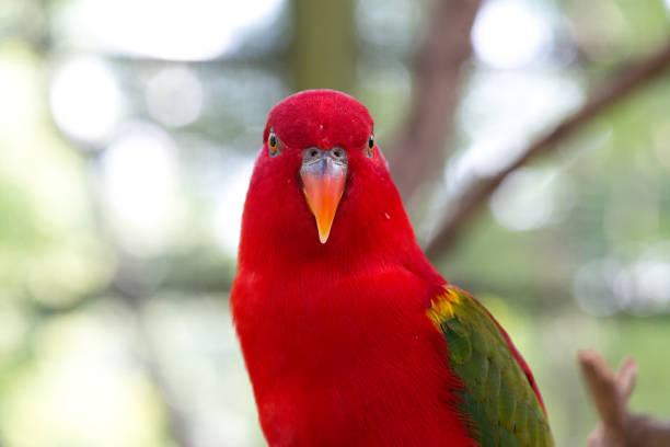australian perroquet avec très grand lit - animaux familiers exotiques photos et images de collection