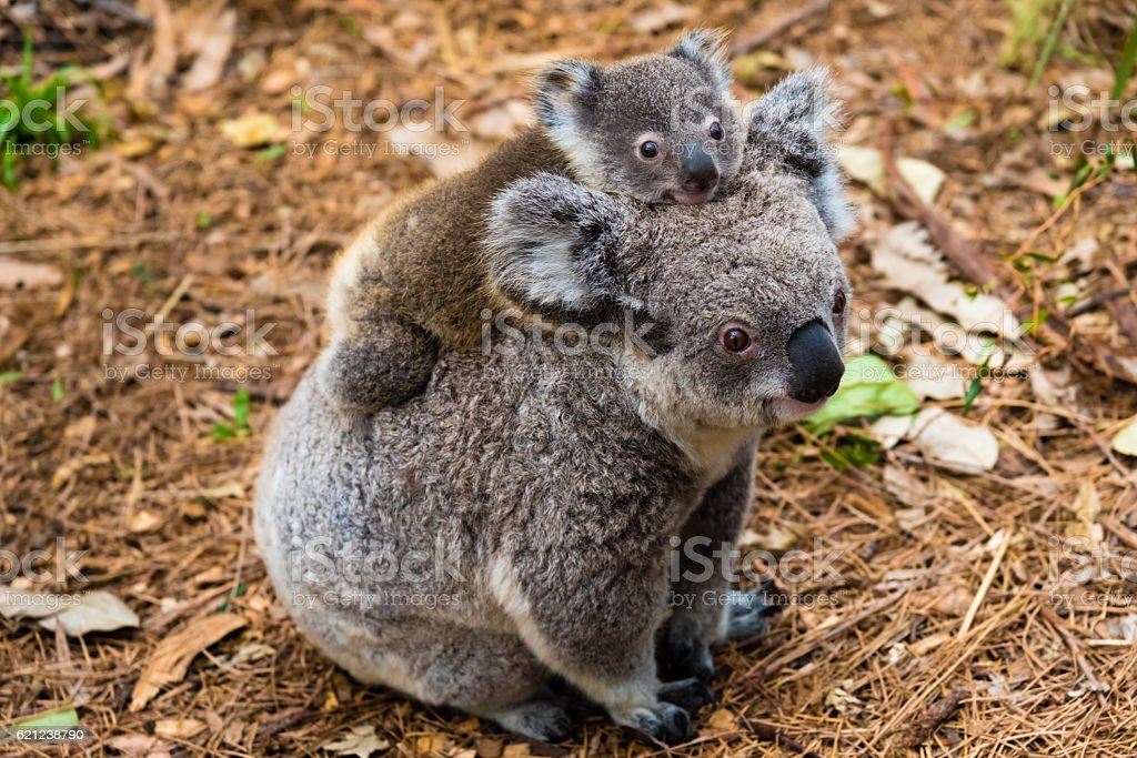 Australian koala bear native animal with baby stock photo