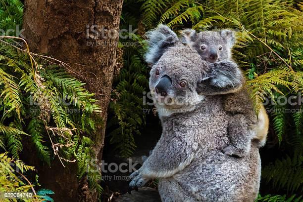 Australian koala bear native animal with baby picture id622064740?b=1&k=6&m=622064740&s=612x612&h=n8rkux5doxjvjdbvpd1v9uwbdfcwrouhqlfi7lr2lzq=