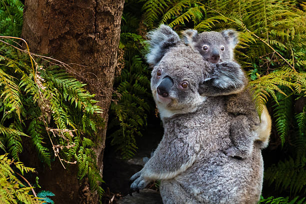 Australian koala bear native animal with baby Australian koala bear native animal with baby on the back. koala stock pictures, royalty-free photos & images