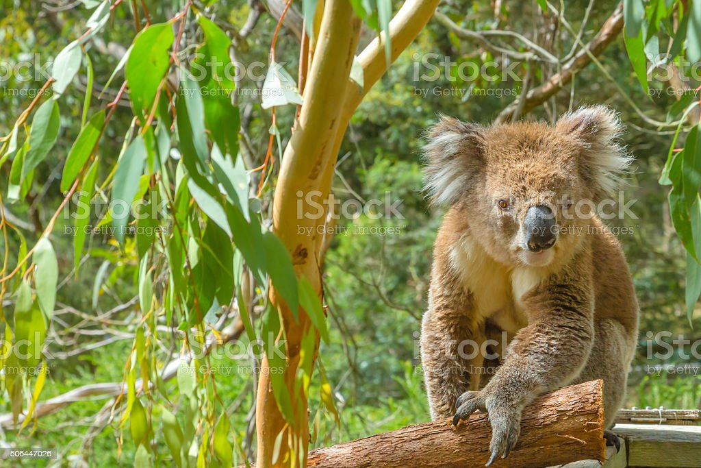 Australian Koala on a branch stock photo