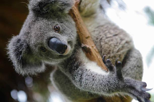 Australian Koala – Foto