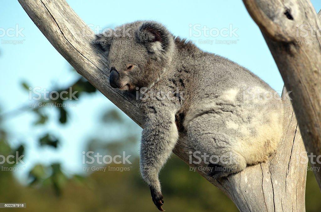 Australian Koala sleeping in a gum tree stock photo