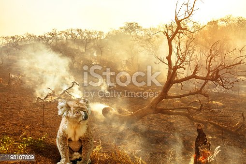 1195174769istockphoto Australian koala wildlife in the fire 1198107809
