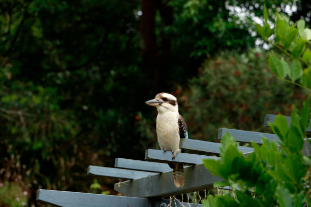 Australian Kookaburra Perched on Pergola stock photo