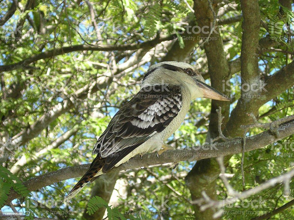 Australian Kookaburra royalty-free stock photo