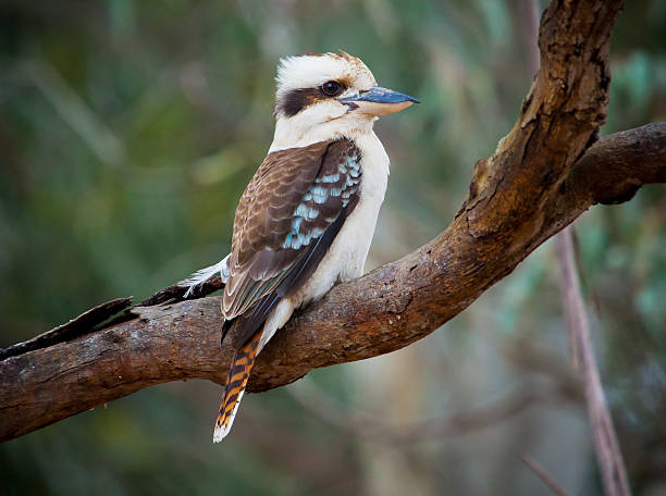 [Image: australian-kookaburra-sitting-on-a-tree-..._YwdpKTyw=]