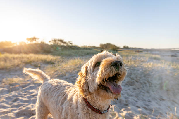 Australian Labradoodle Playing At The Beach stock photo