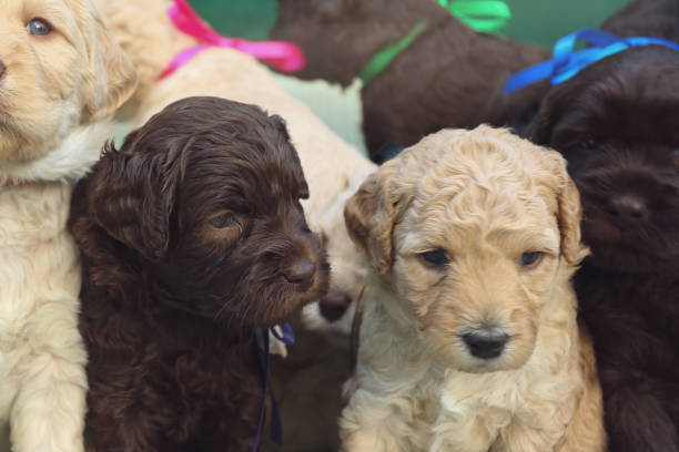 Australian Labradoodle Puppies stock photo