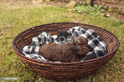 istock Australian Labradoodle Puppy 1146201909