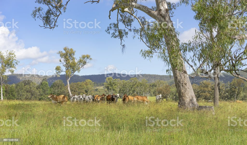 Australian landscape with gum trees and cows stock photo