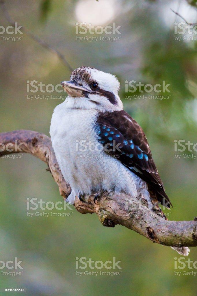 Australian laughing kookaburra (Dacelo novaeguineae). stock photo
