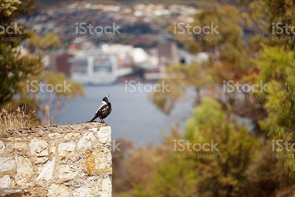 Australian magpie bird stock photo