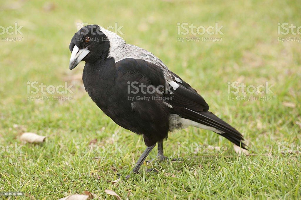 Australian Magpie, Gymnorhina Tibicen (XXXL) stock photo
