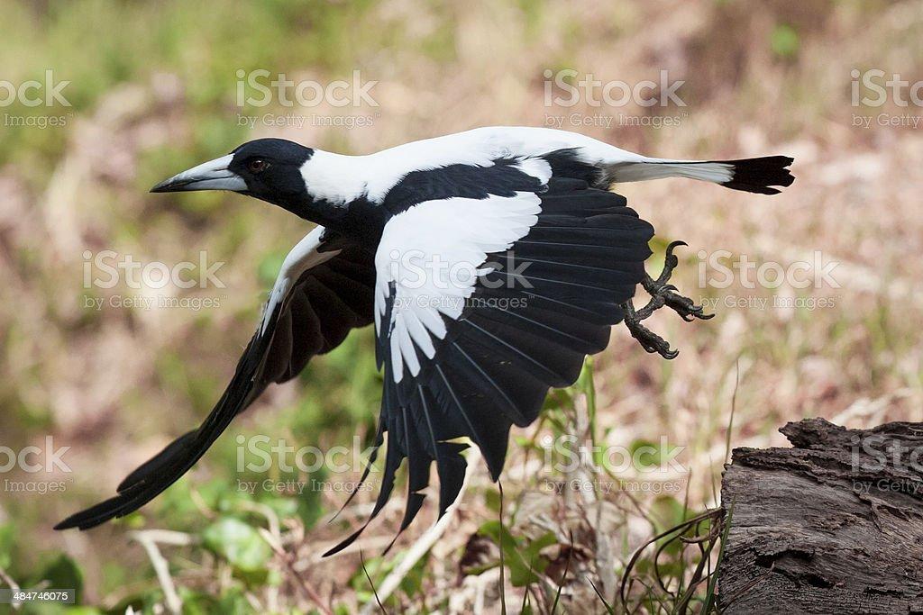 Australian Magpie in flight. stock photo