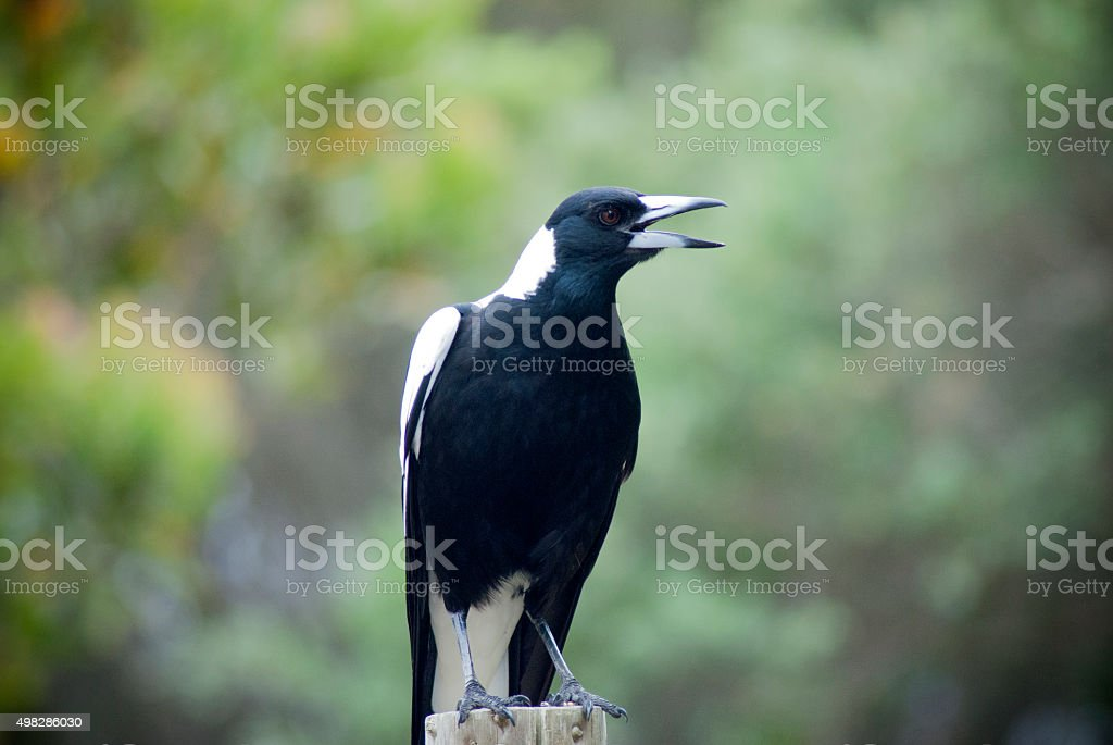 Australian magpie on post stock photo