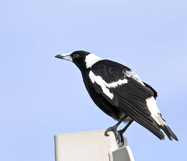Australian magpie perched stock photo