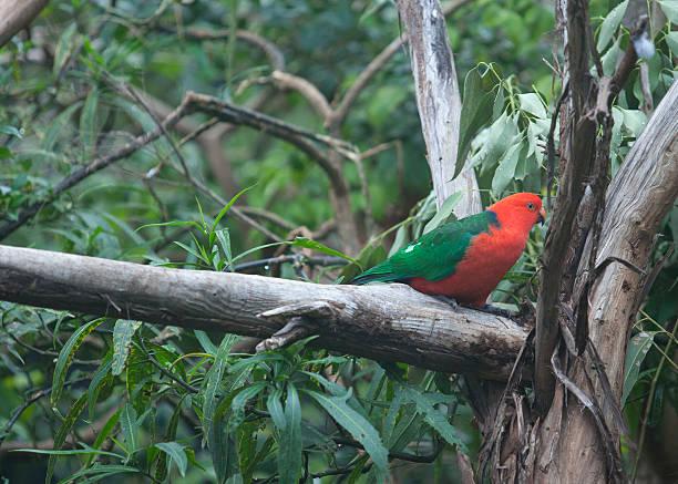 Australian male King parrot stock photo
