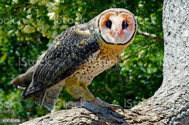 Australian masked owl picture id478752438?b=1&k=6&m=478752438&s=612x612&h=n4b8lf k8cxt6il0axyixai5yz9nslaruovxx9vogwo=