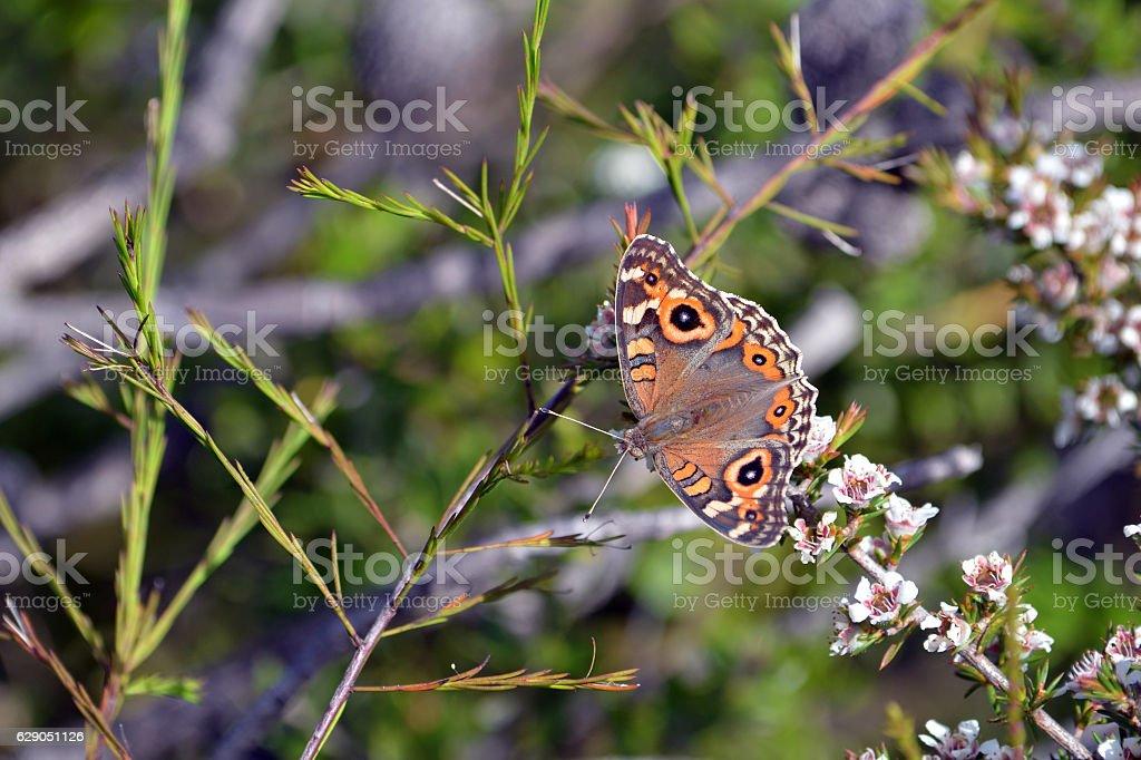 Australian Meadow Argus Butterfly, Junonia villida, stock photo