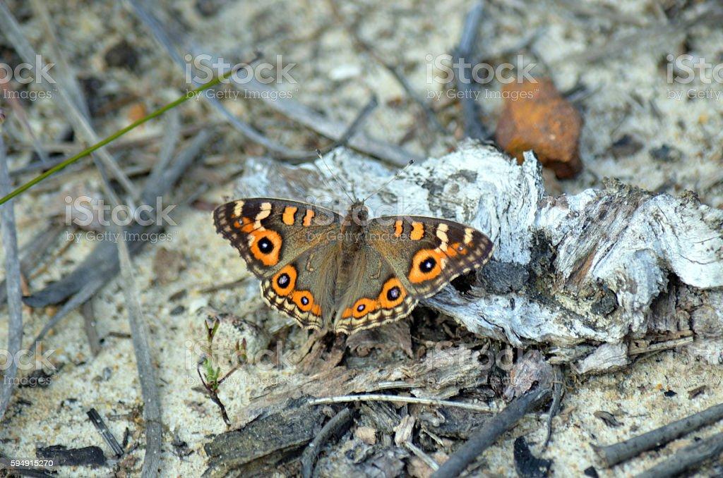 Australian Meadow Argus butterfly (Junonia villida) stock photo