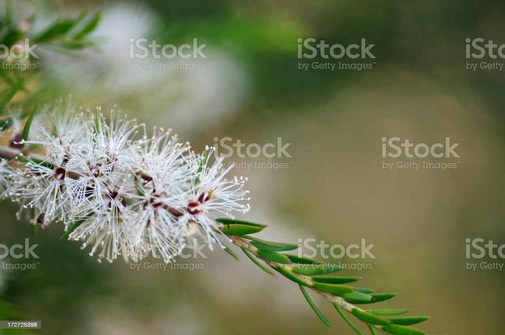 Australian Melaleuca flower stock photo