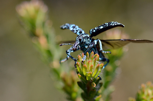 Close up of an Australian native blue and black Botany Bay Weevil, Chrysolopus spectabilis, taking flight, Sydney, Australia. Also known as the Diamond Weevil. First insect described from Australia