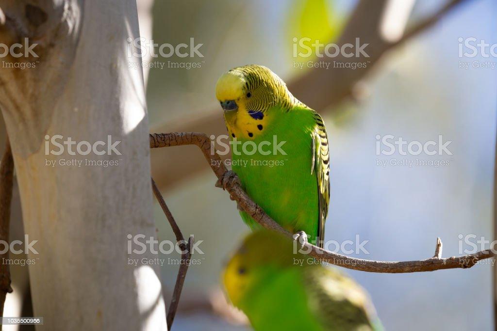 Australian native Budgerigar sits in a eucalyptus tree stock photo