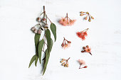 Australian native eucalyptus leaves and flowering pink and red gum nuts, photographed on a rustic white background from above.