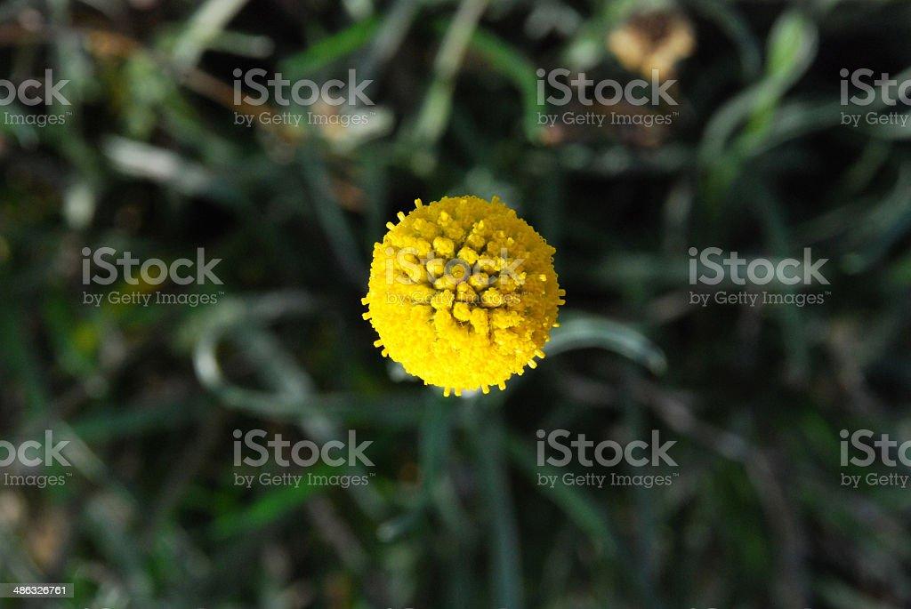 Australian native flower stock photo