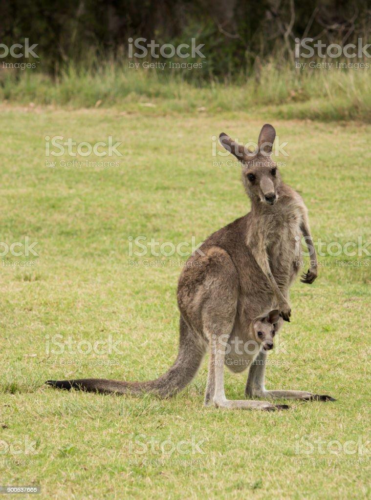 Australische Gebürtige Känguru Mutter Mit Baby Joey Im Beutel Stehen ...