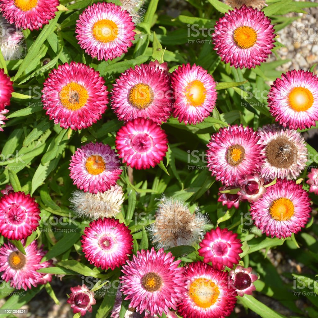Australian Native Pink Everlasting Daisy Flowers Xerochrysum