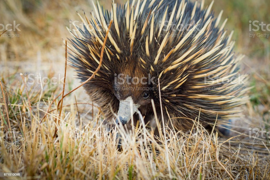 Australian native spiny ant eater echidna close up on face stock photo