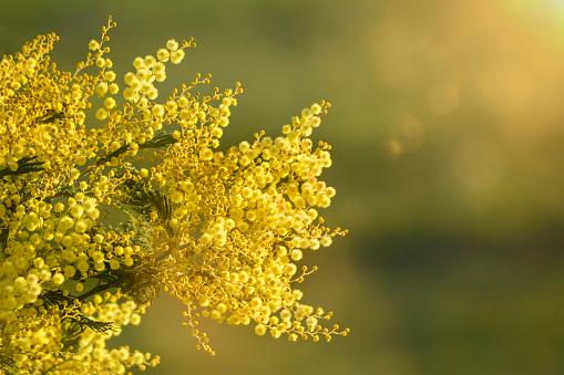 Bright yellow Australian acacia flowers