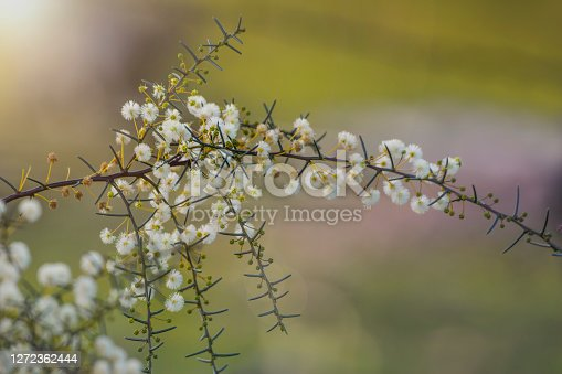 Australian acacia flowers