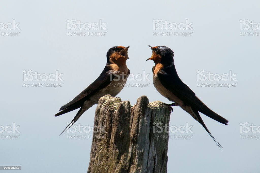 Australian native Welcome swallows perched on post singing stock photo
