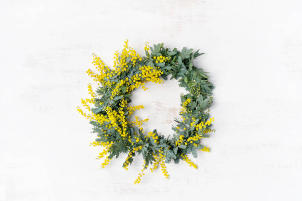 Australian native yellow wattle/acacia flower wreath. Beautiful Australian native yellow wattle/acacia flower wreath, photographed from above, on a white rustic background. Know as Acacia baileyana or Cootamundra wattle. I australian culture stock pictures, royalty-free photos & images