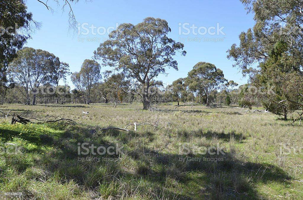 Australian open grassy eucalypt woodland stock photo