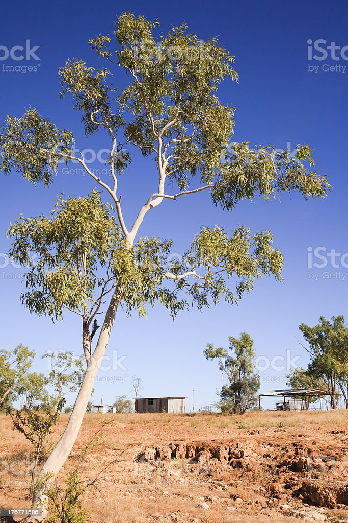Australian Outback Eucalyptus Ghost Gum and Outbuildings royalty-free stock photo