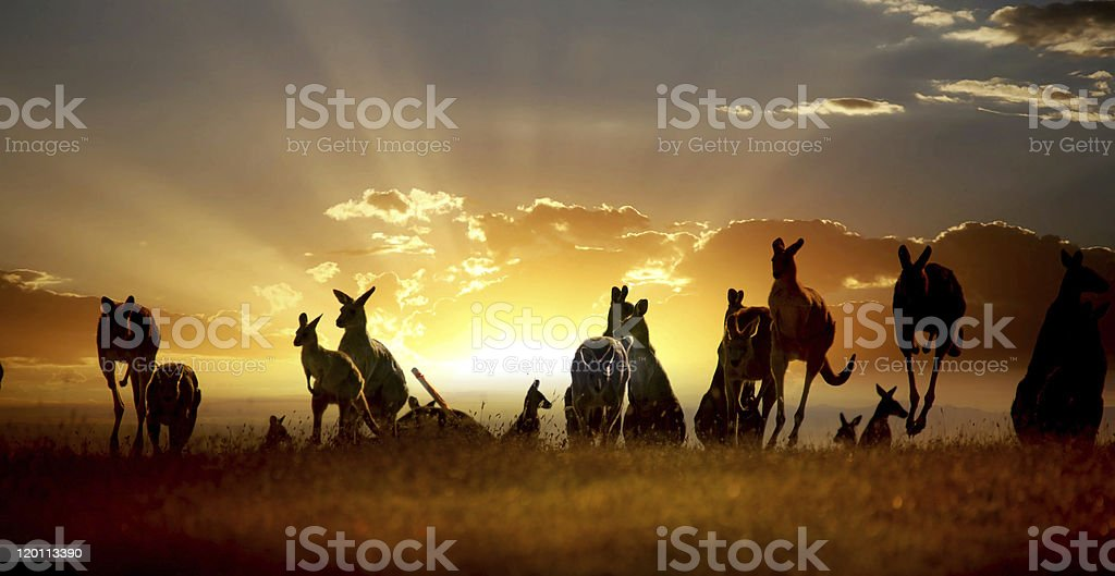 Australian outback kangaroo on the sunset series royalty-free stock photo