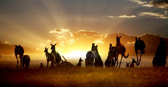 Australian outback kangaroo on the sunset series