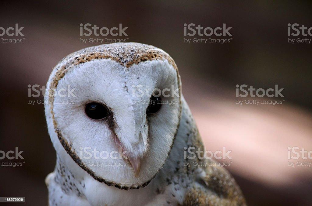 Australian owl stock photo