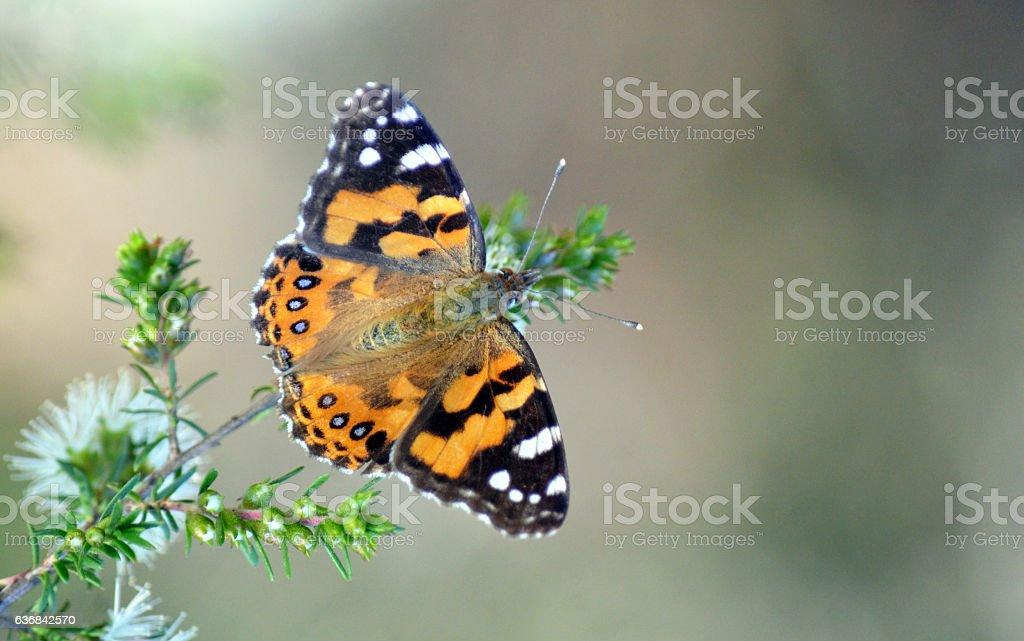 Australian Painted Lady Butterfly, Vanessa kershawi stock photo