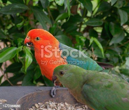 Australian king parrots feeding on sunflower seeds