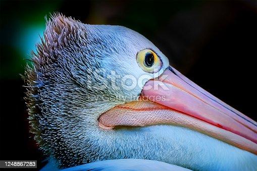 Close up portrait of a pelican (Pelecanus conspicillatus) on the beach