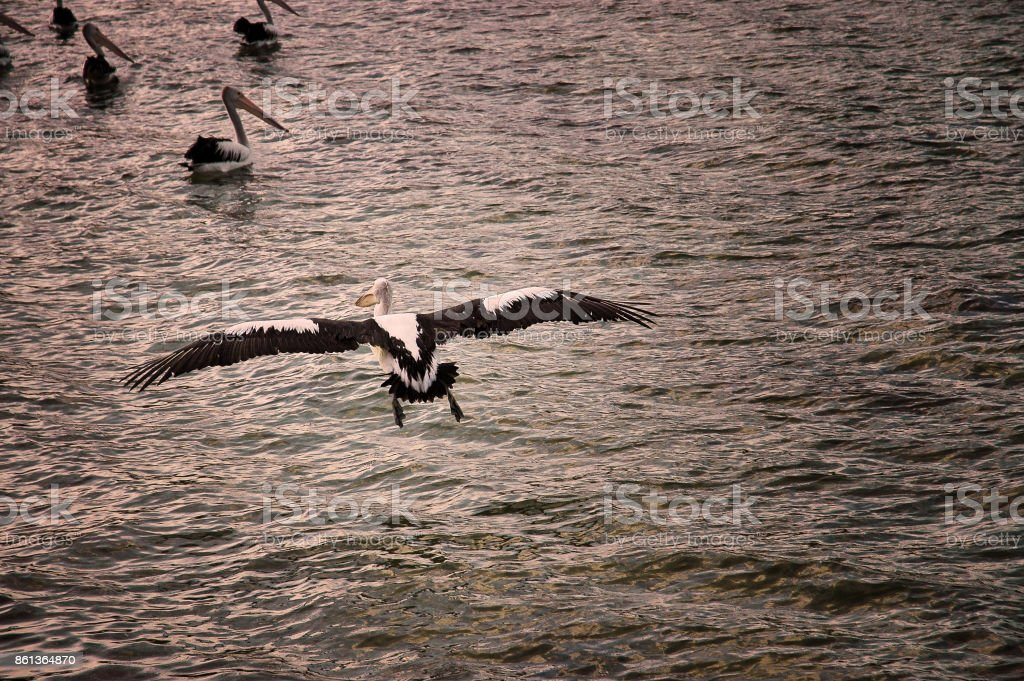Australian pelican flying over the ocean stock photo