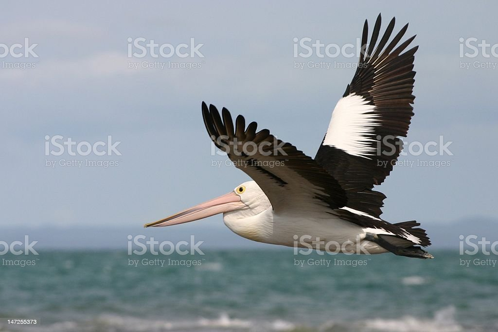 Australian pelican flying stock photo