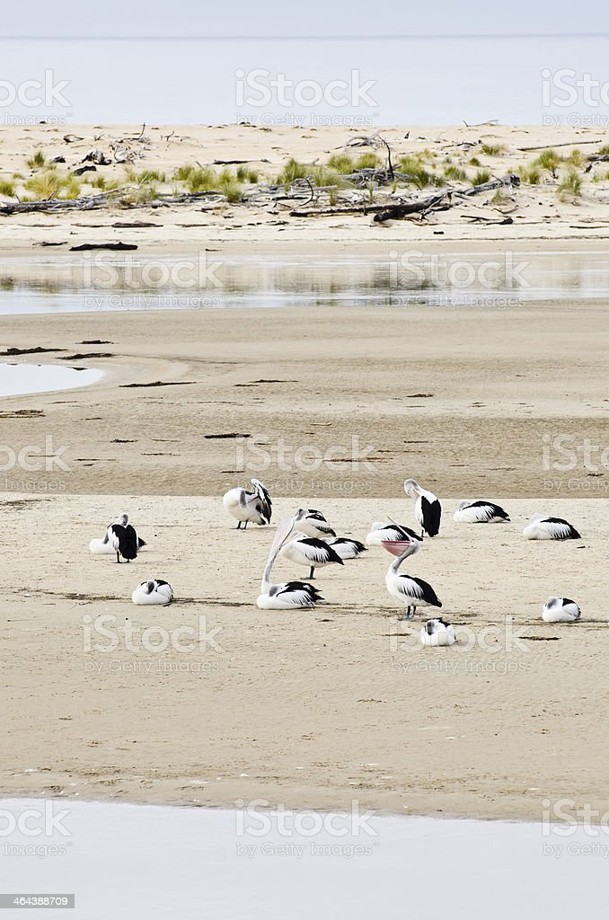 Australian Pelican group in coastal habitat, two with beaks vertical. royalty-free stock photo