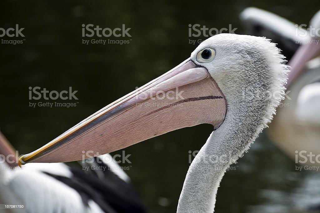 Australian Pelican Head and Neck Profile stock photo