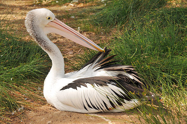 Australian pelican is preening feathers stock photo